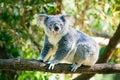 Cute koala in its natural habitat of gumtrees Royalty Free Stock Photos