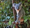 Cute koala looking on a tree branch eucalyptus Royalty Free Stock Photo