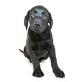 Cute lab puppy sweet black sitting on a white background Stock Images
