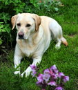 Cute labrador Royalty Free Stock Image