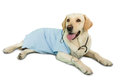 Cute labrador dog lying on floor wearing scrubs and stethoscope