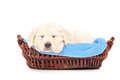 Cute labrador puppy dog sleeping in a basket isolated on white background Royalty Free Stock Image
