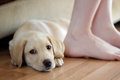 Cute labrador puppy a golden having a lay down Royalty Free Stock Images