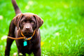 Cute Labrador puppy playing in green grass Royalty Free Stock Photography
