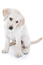 Yellow Lab Puppy on White Royalty Free Stock Photo