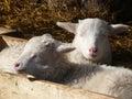 Cute lamb Royalty Free Stock Photo