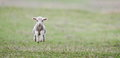 Cute lamb on field in spring Royalty Free Stock Photo
