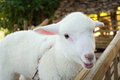 Cute lamb looking camera Royalty Free Stock Photography