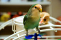 Cute litte lovebird perched on a playgym Royalty Free Stock Photography