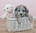 Cute little assie poo puppy sitting in a basket with a stuffed lamb on a pink and white poke a dot background Stock Photos