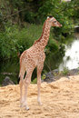 Cute little baby giraffe Stock Images