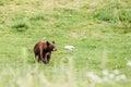 Cute little black american bear on grass Stock Photography