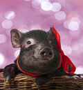 A cute little black pig sitting in basket pink background Stock Images