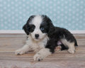 Cute little black and white puppy super sweet with one blue eye with a blue poke a dot background Royalty Free Stock Image