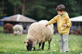 Cute little boy feeding a sheep Royalty Free Stock Photography