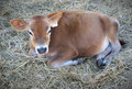 Cute little brown cow calf that sits in the straw Royalty Free Stock Photo