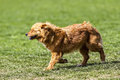 Cute little brown dog in a green field Royalty Free Stock Photo