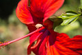 Cute little bug macro close up on red hibiscus flower Royalty Free Stock Photo