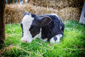 Cute little calf laying in grass Royalty Free Stock Photo