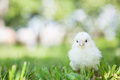 Cute little chick Royalty Free Stock Photo