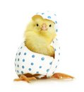 Cute little chicken coming out of the easter egg isolated on white background Royalty Free Stock Photos