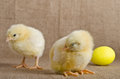 Cute little chicks and easter egg yellow Royalty Free Stock Photo