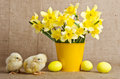 Cute little chicks and easter eggs with yellow daffodils in flowerpot Royalty Free Stock Image