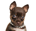 Cute little chihuahua dog close up of puppy isolated on white background Stock Images