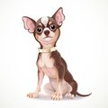 Cute little chihuahua dog wearing a collar vector illustration isolated on white background Stock Photography