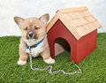 Cute little corgi puppy tied up outside to dog house Stock Photography