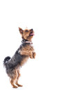 Cute little dog begging for treats Royalty Free Stock Photo