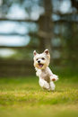 Cute little dog doing agility drill - running slalom Royalty Free Stock Photo