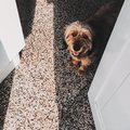 Cute little dog looking straight at a person showing its white teeth with a smile Royalty Free Stock Photo