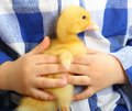 Cute little duckling in baby arms Stock Photos