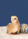Cute little Easter chick Stock Images