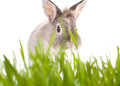 Cute little easter rabbit or bunny peering at the camera over fresh green spring grass against a white background Stock Photo