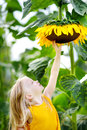 Cute little girl reaching to a sunflower Royalty Free Stock Photo