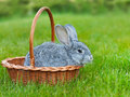 Cute little grey rabbit in the basket on green grass easter background with copyspace Stock Photography