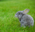 Cute little grey rabbit on green grass Stock Photo