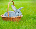 Cute little grey rabbit on green grass in the basket easter background with copyspace Royalty Free Stock Photo