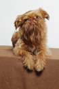 Cute little griffon dog Stock Image