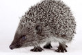 Cute little hedgehog. Royalty Free Stock Images