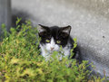 Cute little kitten funny peeking from behind the grass Royalty Free Stock Photo