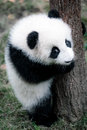 cute little panda Royalty Free Stock Photo
