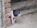Cute little pig raise its guard Royalty Free Stock Images