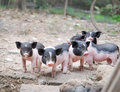 Cute little pigs raise its guard Royalty Free Stock Images