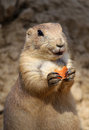 Cute little prairie dog Stock Photography