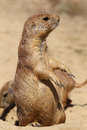 Cute little prairie dog in characteristic posture Royalty Free Stock Images