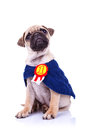 Cute little pug puppy dog champion sitting Royalty Free Stock Photo