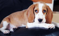 Cute little puppy beagle lying looking at camera Stock Photography